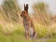 Chasse Petit Gibier lapin Sologne