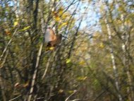 Chasse Petit Gibier Sologne becasse sologne-hunters